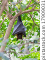 Flying foxes hanging on trees. 17909031