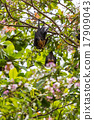 Flying foxes hanging on trees. 17909043