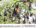 Flying foxes hanging on trees. 17909045