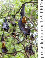 Flying foxes hanging on trees. 17909046