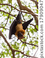 Flying foxes hanging on trees. 17909047