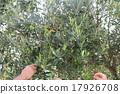 橄榄 橄榄树 树 17926708