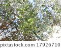 橄榄 橄榄树 树 17926710