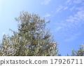 橄榄 橄榄树 树 17926711