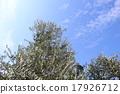 橄榄 橄榄树 树 17926712