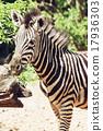Portrait of hartmann's mountain zebra (Equus zebra hartmannae) 17936303