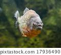 魚 食人魚 新鮮的水 17936490