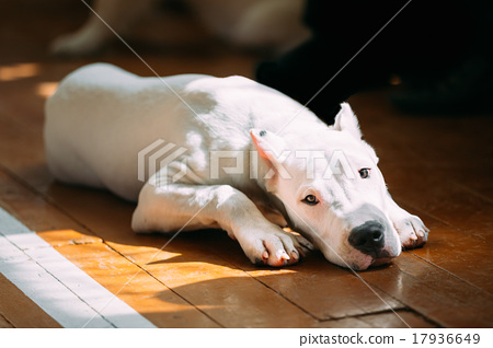 Stock Photo: Young White Dogo Argentino Dog laying On Wooden