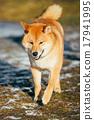 Beautiful Young Red Shiba Inu Dog Running Outdoor 17941995