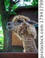 駱駝 哺乳動物 駱駝科 17943799