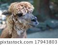 駱駝 哺乳動物 駱駝科 17943803