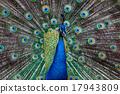 peafowl, peacock, bird 17943809