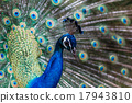 peafowl, peacock, bird 17943810