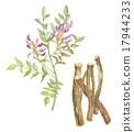 감초 꽃 · 뿌리 17944233