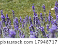 Lavender Flowers 17948717