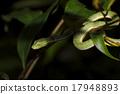 Vogel's green pitviper Trimeresurus vogeli 17948893