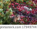 日本鼠兔 野兔 果阿爾粳稻 17949744