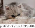 tired kitten 17955486