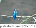 common, kingfisher, bird 17976214