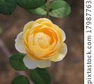 Rose 17987763