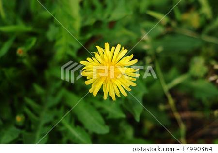 Yellow dandelion 17990364
