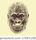animal, ape, monkey 17993108
