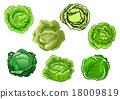 甘藍 包菜 椰菜 18009819