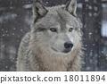 Shinlin Wolf 18011894