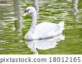 백조, 새, 강 18012165