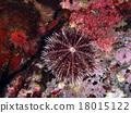 棘皮動物 海膽 羊齒草 18015122