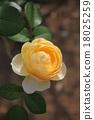 Rose 18025259