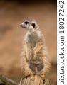 female of meerkat or suricate 18027242