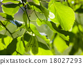 Green leaves of the lime tree in the sunshine 18027293