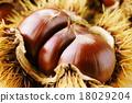 板栗 日本栗 水果 18029204