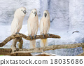Three Moluccan cockatoo on the perch 18035686