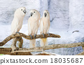 Three Moluccan cockatoo on the perch 18035687
