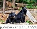 Black Bear 18037228