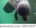 newborn baby manatee close up portrait 18041647
