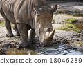 흰색 코뿔소 18046289