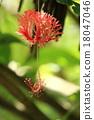 裂瓣朱槿 植物 植物學 18047046
