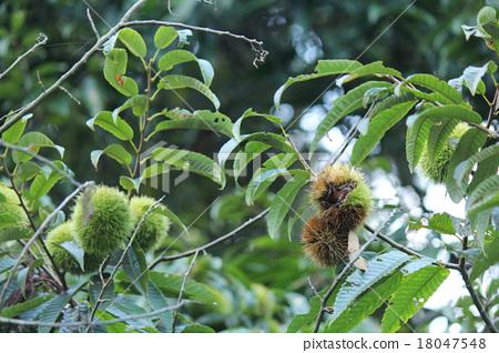 Chestnut 18047548