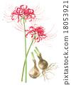 Higanbana花·花·山的根。 18053921