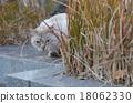 แมวขี้อายที่อาศัยอยู่ในสุสานยานากะ 18062330