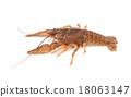 crayfish 18063147