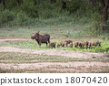 Warthogs near a water hole in Tarangire 18070420