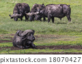 African buffalo (Syncerus caffer) on the grass.  18070427