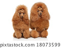 Two red toy poodle on white background 18073599