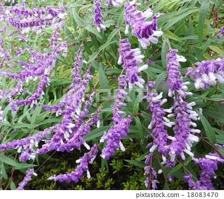 꽃말은 가족애, 햇볕이 짧아지면 꽃을 열 샐비어 레우칸사. 18083470