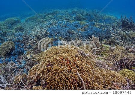 珊瑚 分叉珊瑚 冲绳 18097443