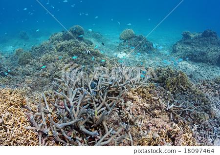 珊瑚 分叉珊瑚 冲绳 18097464